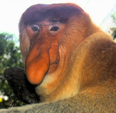 found on: https://martygumblesworth.files.wordpress.com/2011/03/proboscismonkey2.jpg?w=300